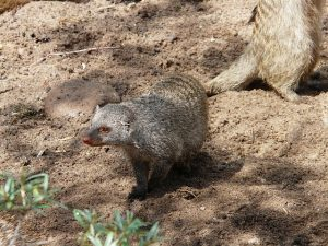 banded-mongoose-7298_640