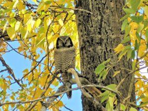 great-grey-owl-697886_1280