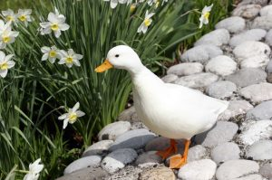 Adult_white_call_duck_drake