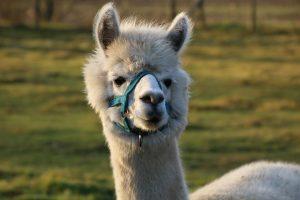 alpaca-1112540_640