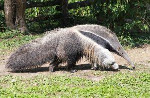 anteater-1329340_1280