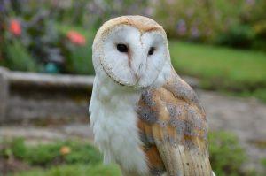 barn-owl-1208033_1280