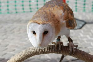 barn-owl-397215_1280