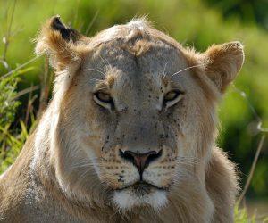 lion-806186_1280