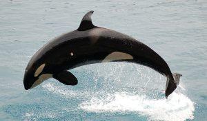 orca-590541_1280