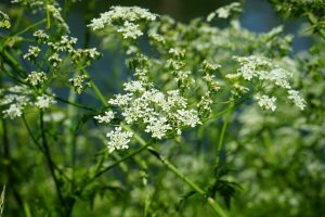 pointed-chervil-474765_1280