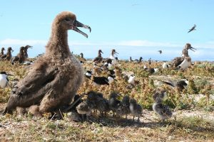 black-footed-albatross-86579_640