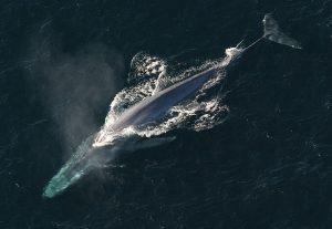 blue-whale-1198719_640