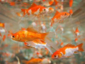 goldfish-178585_640