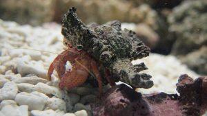 hermit-crab-67033_640