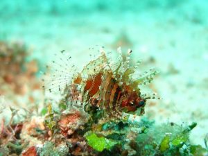 lionfish-1537980_640