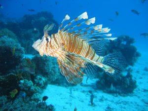 lionfish-587709_640