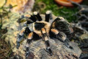 tarantula-1033341_640