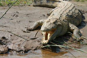 crocodile-945308_640