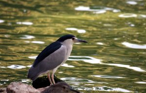 night-heron-88975_640