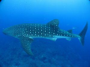 whale-shark-541836_1280