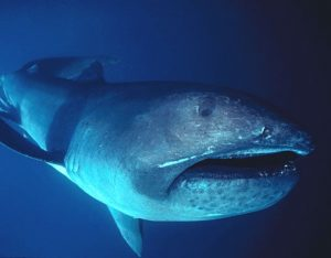 megamouth_shark2