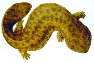 naturalis_biodiversity_center_-_andrias_japonicus_-_japanese_giant_salamander_-_siebold_collection