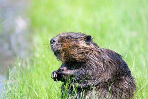 beaver-1448389_640
