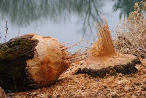 beaver-249277_640