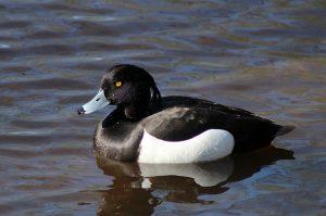 duck-943744_640