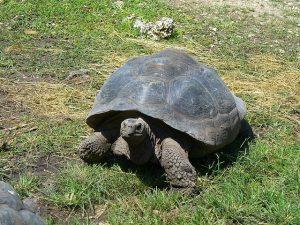 galapagos-tortoise-1105824_640