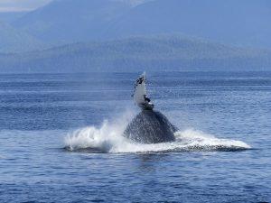 humpback-whale-431901_640