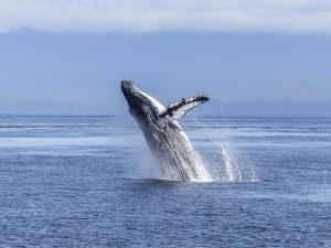 humpback-whale-436120_640