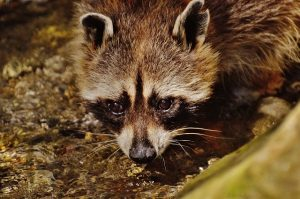 raccoon-1573448_640