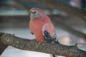 bourkes_parrot_neopsephotus_bourkii_-zoo