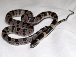 japanese-odd-tooth-snake