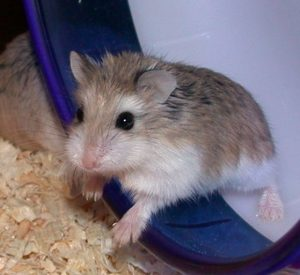 photo_of_roborovski_hamster