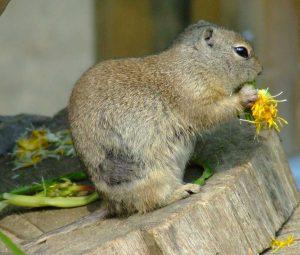 richardsons_ground_squirrel