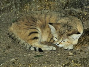 sand_cat_at_bristol_zoo_arp