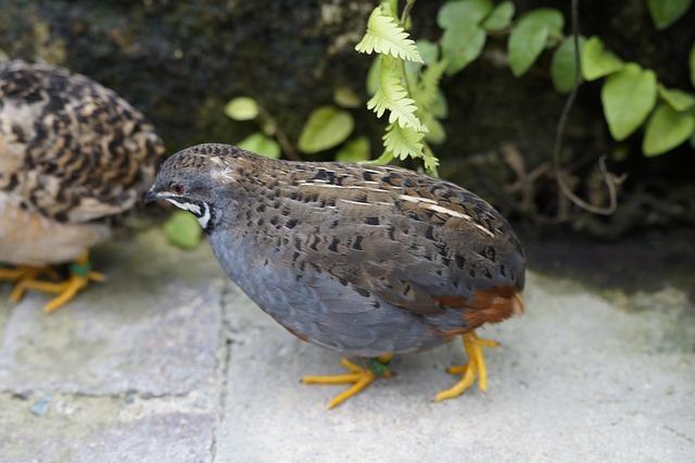 king-quail-784923_640