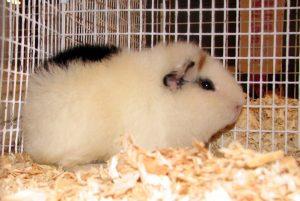 teddy_guinea_pig