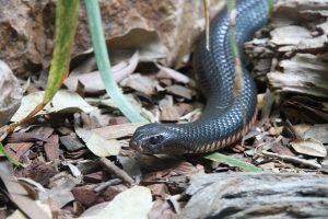 snake-185724_640