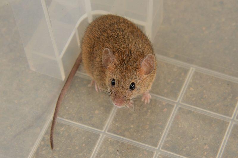 ハツカネズミの画像 p1_34