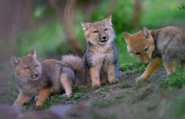 チベットスナギツネの幼獣